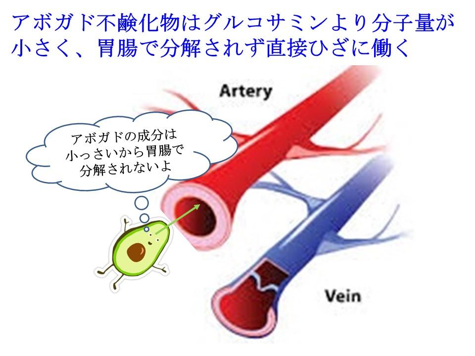 アボガド不鹸化物はグルコサミンより分子量が小さく、胃腸で分解されず直接ひざに働く